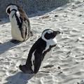 2007・11 ボルダーズビーチ・ペンギン