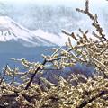 梨畑から見える富士