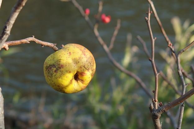 緋木瓜の実