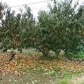 2014/11/06 桃の木