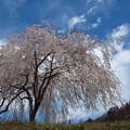 Photos: 山里の桜