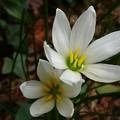 写真: 白い花ーA