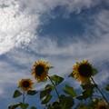 写真: 夏空とひまわり