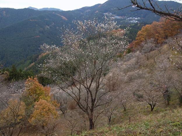 冬桜と紅葉ー2