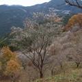 写真: 冬桜と紅葉ー2