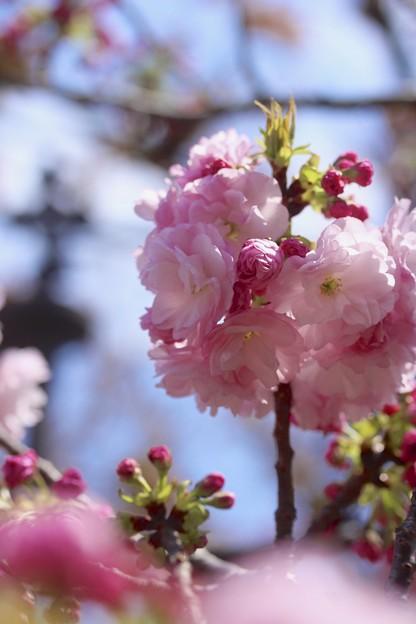 造幣局の桜1~♪