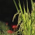 写真: 「稲穂」と「彼岸花」~♪