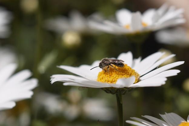 ノースポールに小蜂
