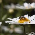 写真: ノースポールに小蜂