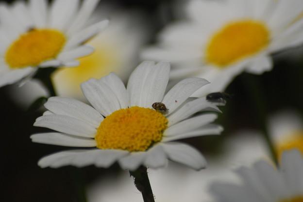 ノースポールに天道虫の幼虫 ルリマルノミハムシ