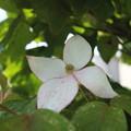 写真: 薄いピンクヤマボウシ