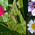 小さい菊ノースポールにハナアブクロッカスバナナ虫