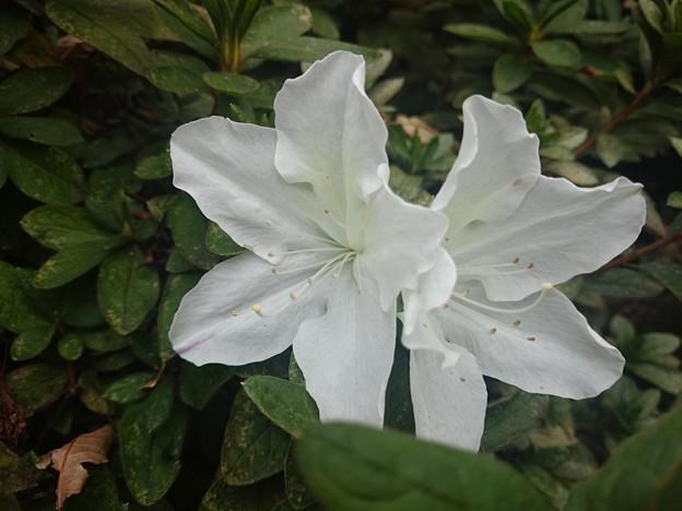 狂い咲きツツジ