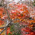 春と秋のコラボ桜咲く紅葉3