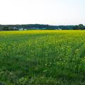 菜の花畑の夕日-01491