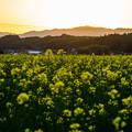 菜の花畑の夕日-01486