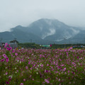 写真: 避難区域に咲くlコスモス初秋-17