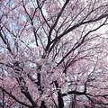 3月の桜_1