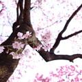 3月の桜_3