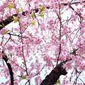 3月の桜_4