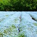 ネモフィラ畑