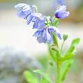 写真: 温室育ちの高山植物