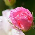 写真: 花。。。とろ~り