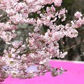 サクラと芝桜