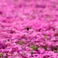 Photos: 花のぶんぶんまる