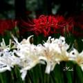 写真: 紅白