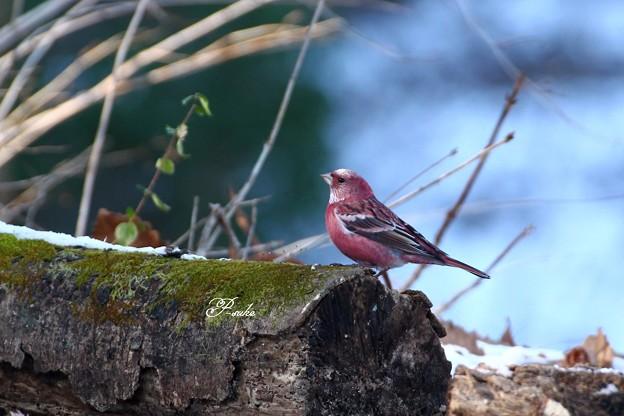 写真: 赤い鳥探して^^