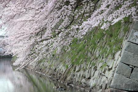 彦根城桜5Ds1