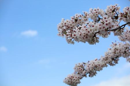 彦根城桜5Ds2