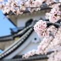 彦根城桜5Ds6