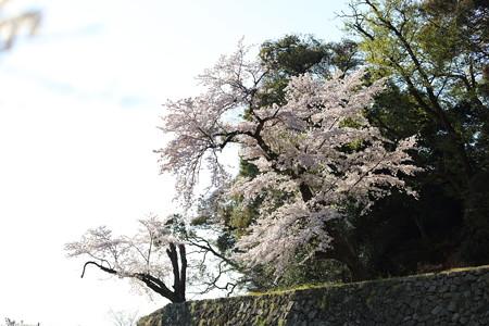 彦根城桜5Ds18