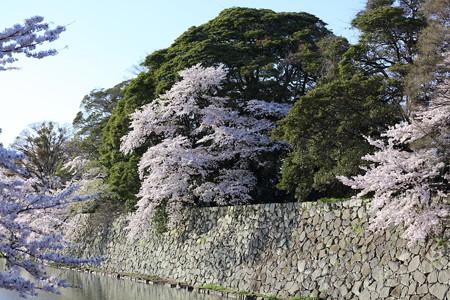 彦根城桜5Ds19