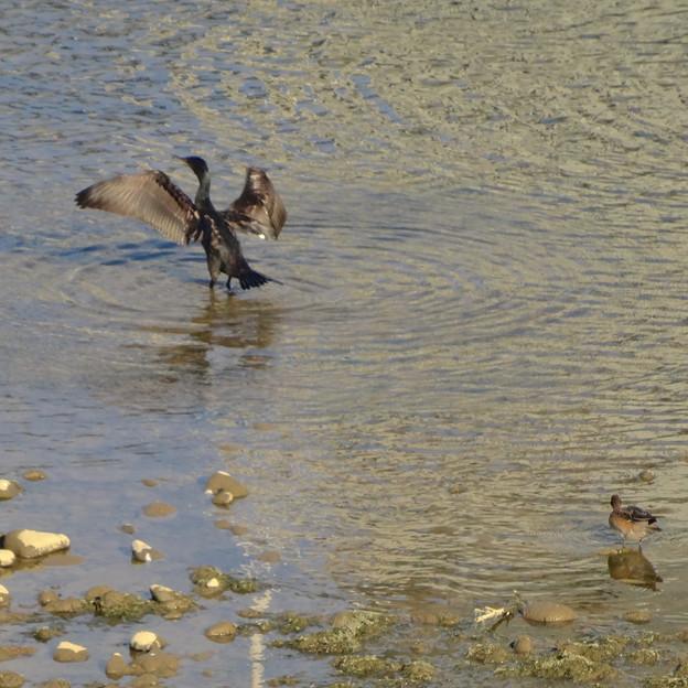 木曽川にいた野生の鵜 - 2