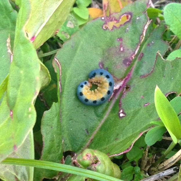 珍しい小さな青い芋虫 - 1(ハグロハバチの幼虫)