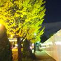 写真: 紅葉真っ盛りのイチョウ並木のイチョウ