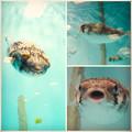 Photos: 名古屋港水族館 - 34:可愛らしい、ハリセンボンの子供?