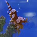 Photos: 名古屋港水族館 - 38:ユーモラスな姿をした、イソギンチャクモエビ