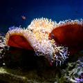 Photos: 名古屋港水族館 - 44:センジュイソギンチャクとカクレクマノミ