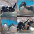 写真: 東山動植物園:仲良く毛づくろいをし合う、イワトビペンギンの…カップル? -  2