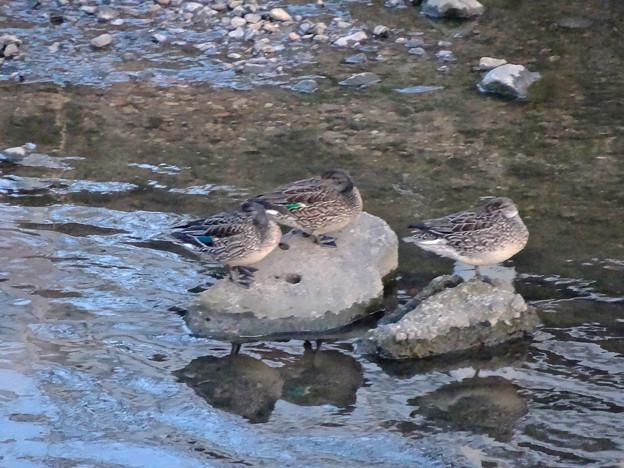 水に入ると寒いからか、大きな石の上で休む3羽のカモ - 1
