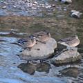 写真: 水に入ると寒いからか、大きな石の上で休む3羽のカモ - 1