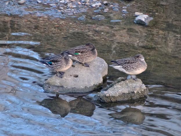 水に入ると寒いからか、大きな石の上で休む3羽のカモ - 2