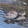 写真: 水に入ると寒いからか、大きな石の上で休む3羽のカモ - 2