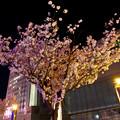 満開だったオアシス21の桜(2017年4月16日) - 2