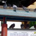 今日も沢山いた大須観音の鳩 - 2