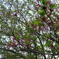 写真: ほとんど散ってた、朝宮公園の八田川沿いのソメイヨシノ(2017年4月21日) - 2